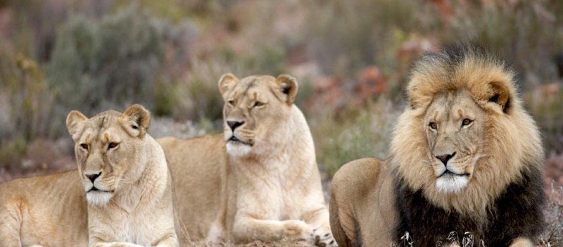 Aquila_Safari_Lion_7