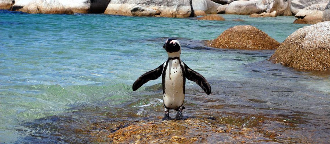 afrique-du-sud-cape-town-pingouins-big